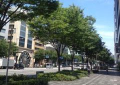 新緑のケヤキ並木(御池通)