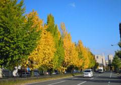 秋のイチョウ並木(堀川通)
